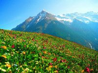 alpine-flowers-in-austria-b